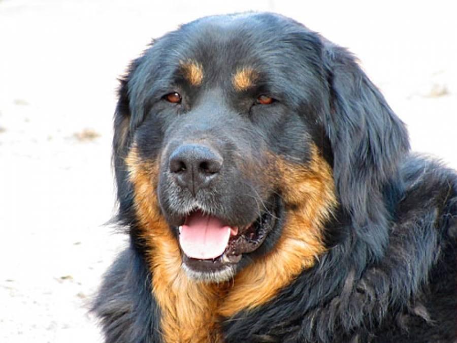 Бурят — монгольский волкодав: описание, характер, фото | все о собаках