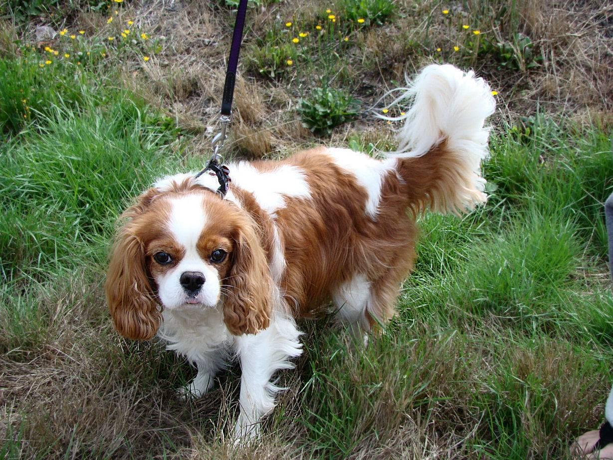 Кавалер-кинг-чарльз-спаниель: описание породы, плюсы иминусы собаки, основы ухода, фото ицена щенка + отзывы владельцев