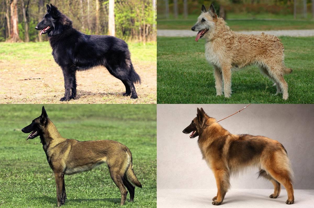 Бельгийская овчарка: разновидности породы, описание, стандарт, характеристика