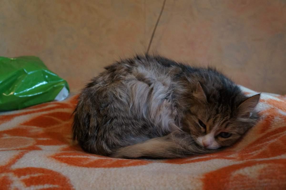 Почему кошку рвет непереваренной пищей