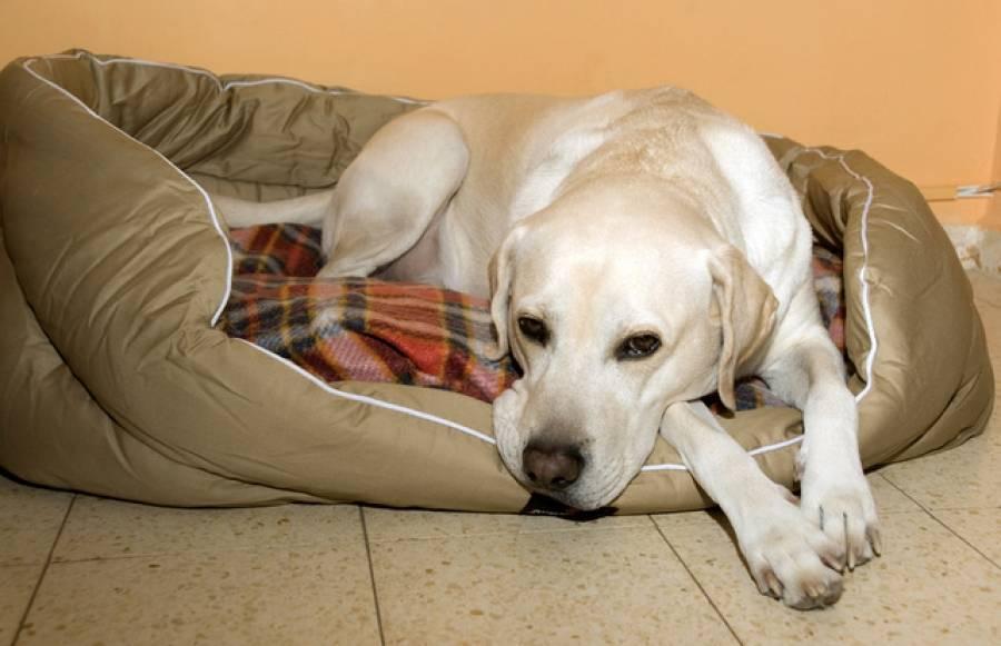 Ложная беременность у собаки: симптомы, продолжительность, что делать, как успокоить питомицу