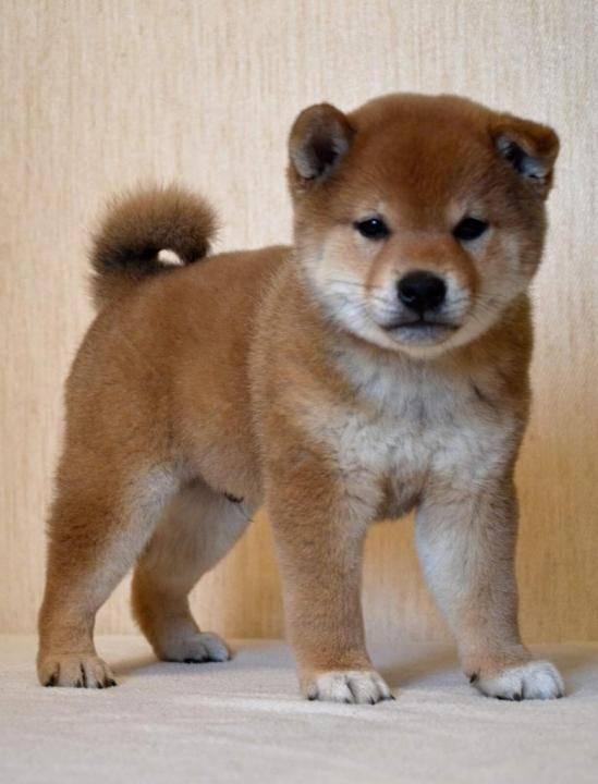 Собаки похожие на акита ину но других размеров