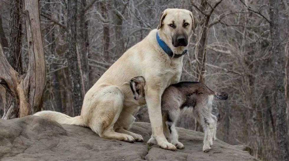 Турецкая собака кангал: особенности породы, воспитание и разведение