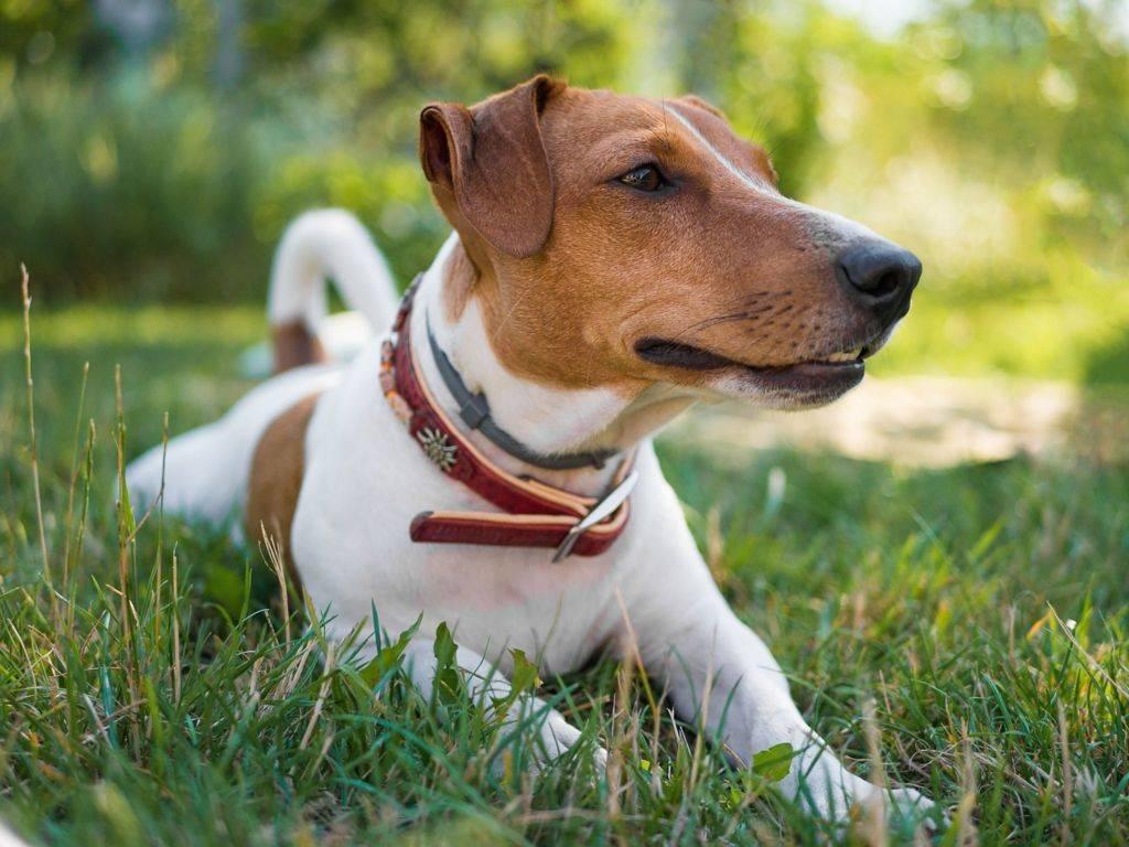 Джек-рассел-терьер - описание популярной породы собак. рекомендации по содержанию и дресировке
