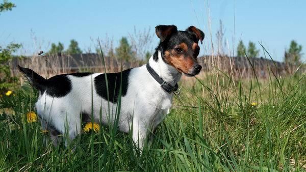Датско-шведская фермерская собака — википедия. что такое датско-шведская фермерская собака