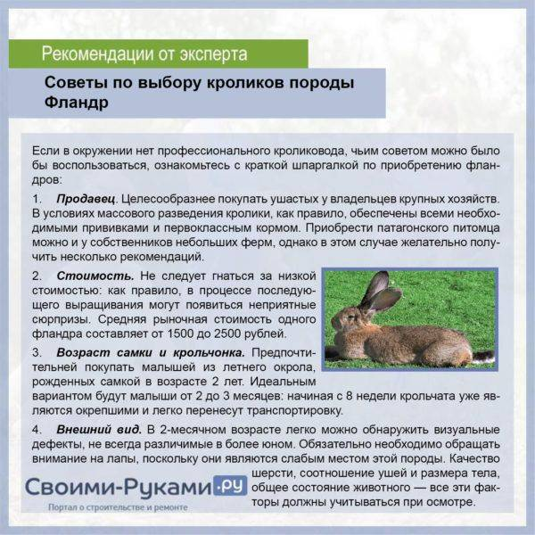 Кролик белый великан — описание породы, характеристика, разведение и содержание.   cельхозпортал