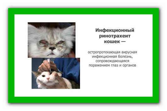 Герпес у кошек, или ринотрахеит: проявление и лечение