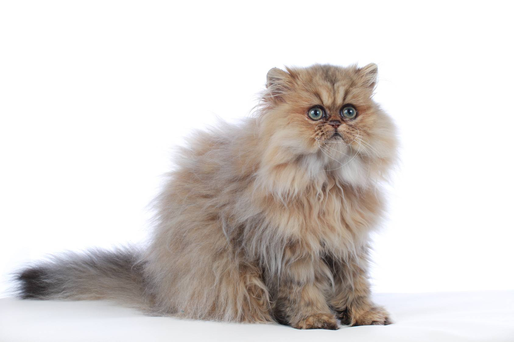 Персидская кошка: особенности характера, стандарт и правила ухода