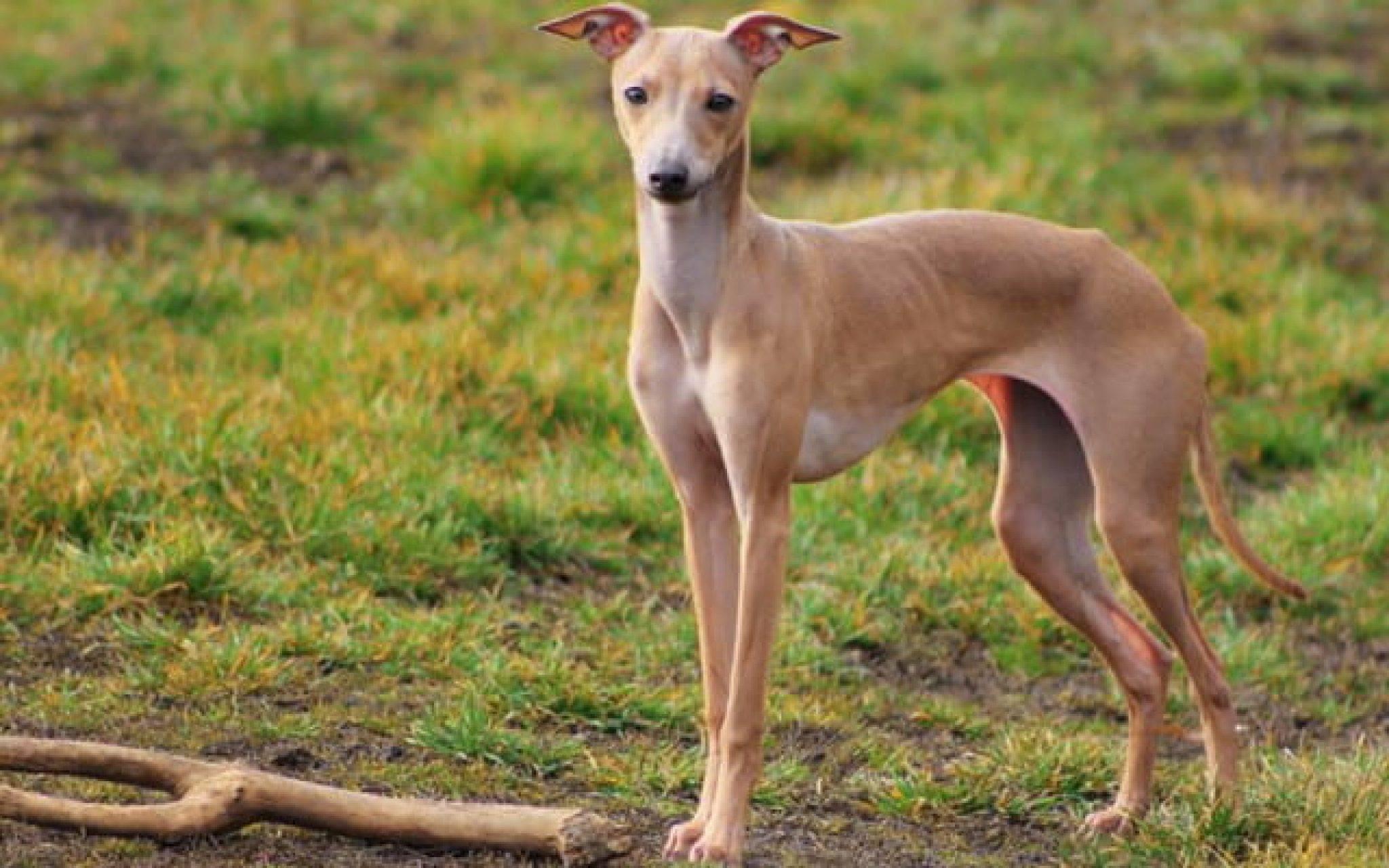Порода собак грейхаунд