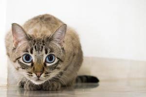 Кошки породы нибелунг: описание внешности и характера, уход за питомцем и его содержание, выбор котёнка, отзывы владельцев, фото кота