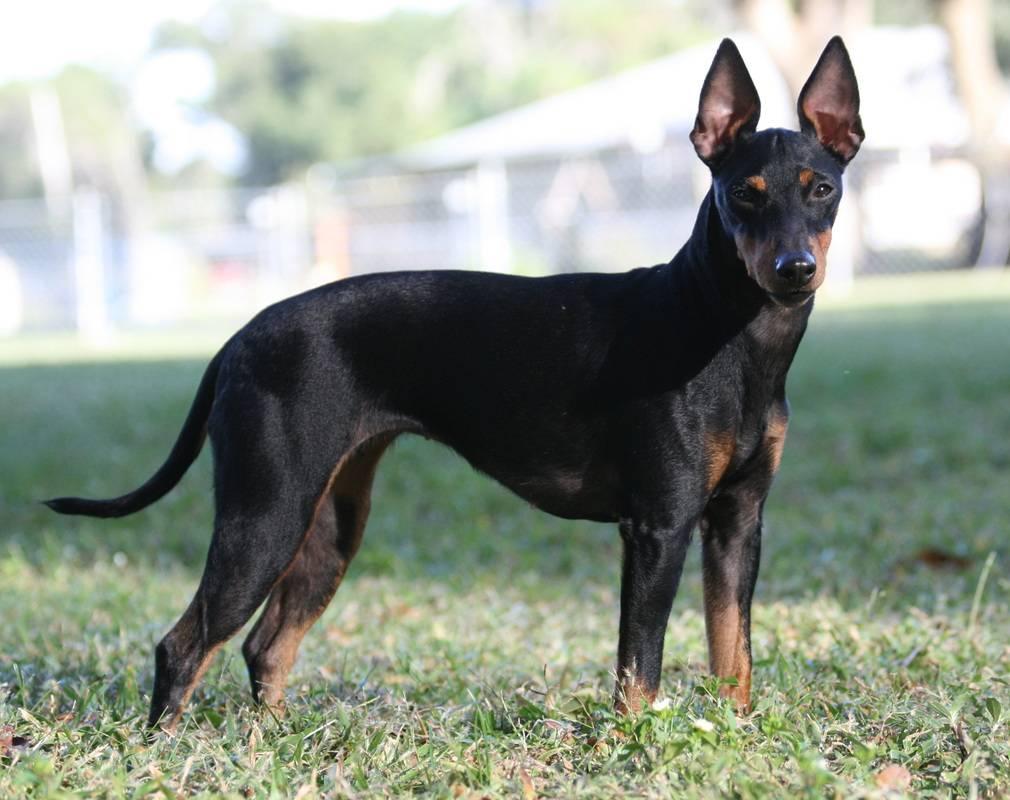 Мини той-терьер: фото собак, описание породы, особенности характера, продолжительность жизни, питание, уход и содержание