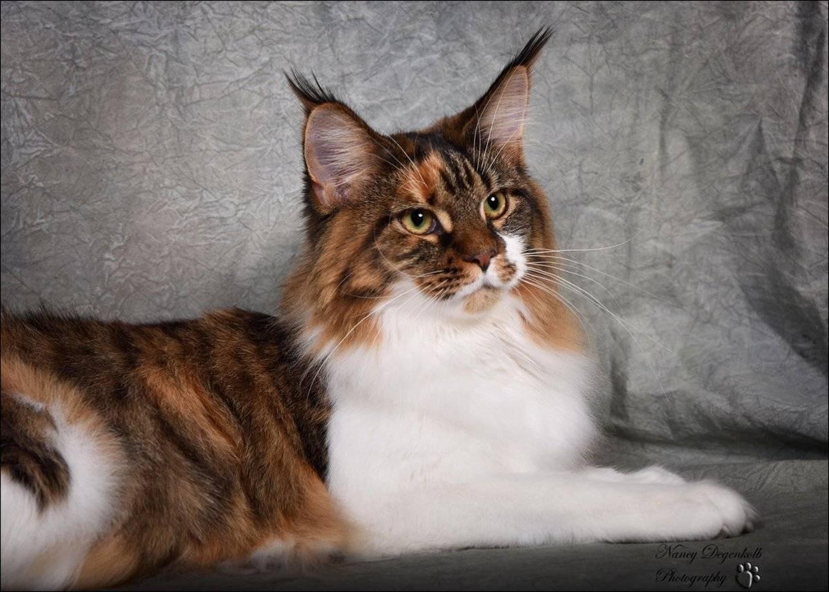 Порода кошек мейн-кун. советы эксперта как ухаживать и содержать