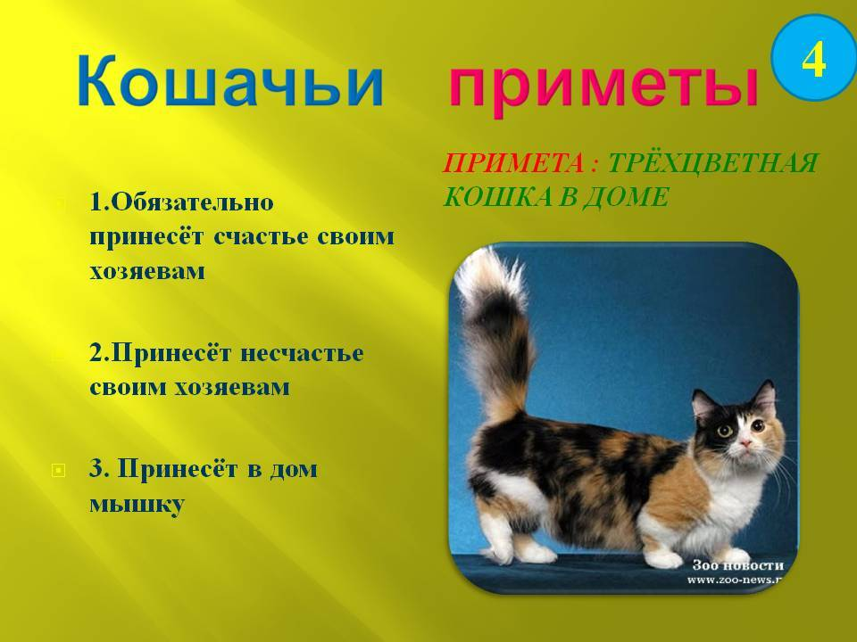 Значимость трехцветной кошки в доме