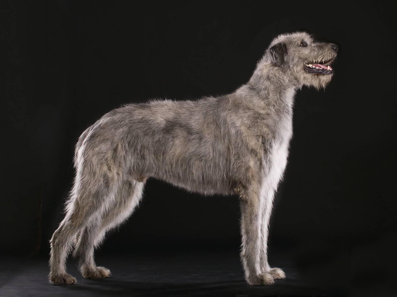 Ирландский волкодав: величественный исполин с трепетной душой