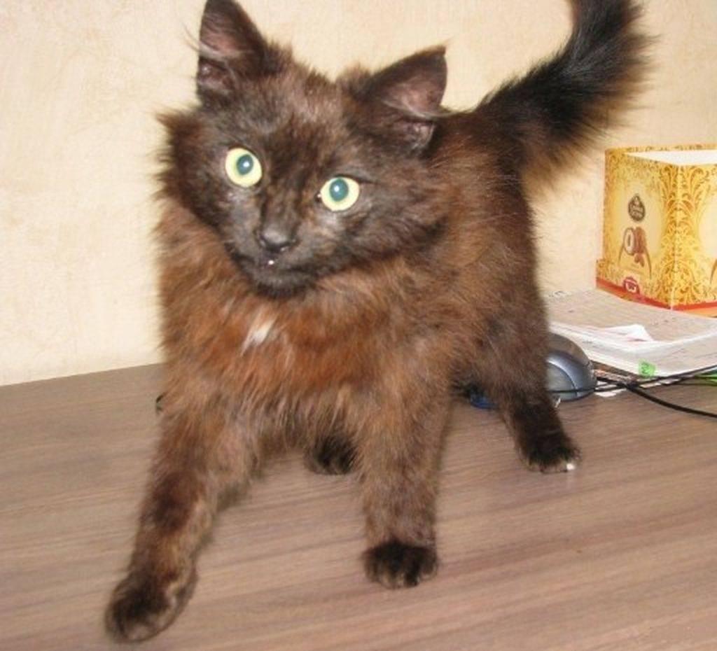 Йоркская шоколадная кошка: фото и стандарт породы
