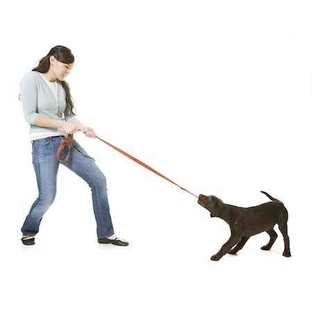 Как отучить собаку тянуть поводок на прогулке | все о собаках