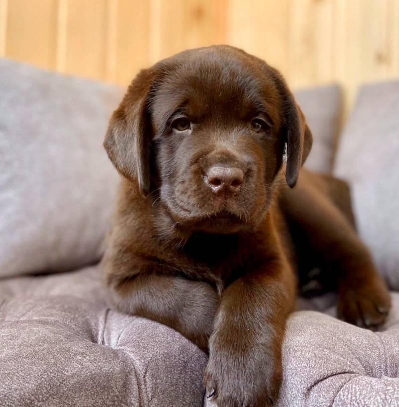 Шоколадный лабрадор-ретривер: как выглядит щенок с голубыми глазами на фото и какой кличкой назвать взрослого питомца мальчика