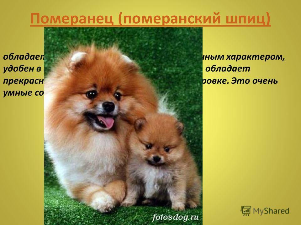 Японский шпиц - основные характеристики и описание стандартов породы собаки (115 фото)