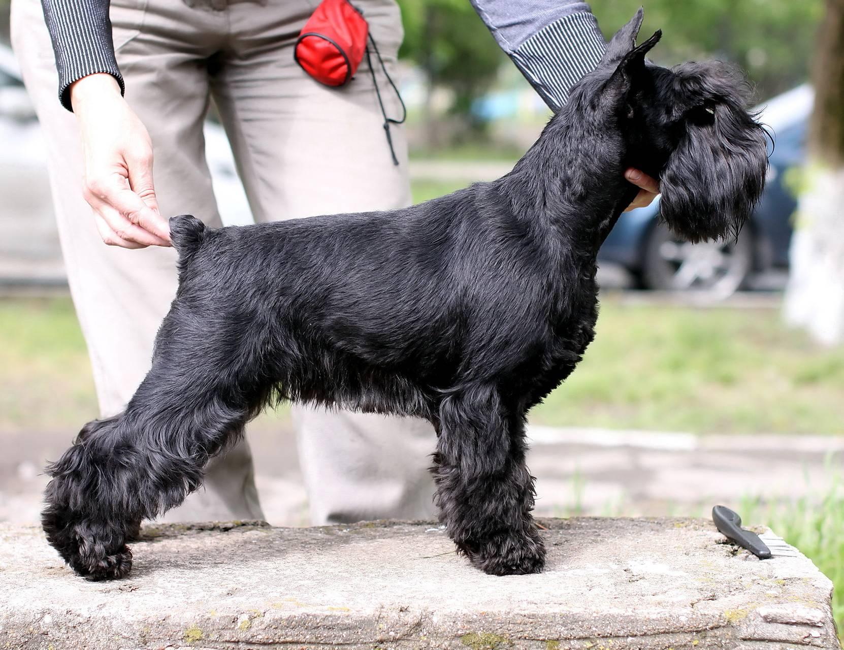 Цвергшнауцер — самая маленькая служебная порода собак