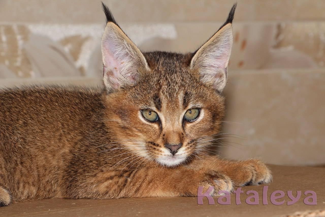 Порода домашних кошек с кисточками на ушах: домашние коты с большим хвостом, без хвоста, похожие на рысь