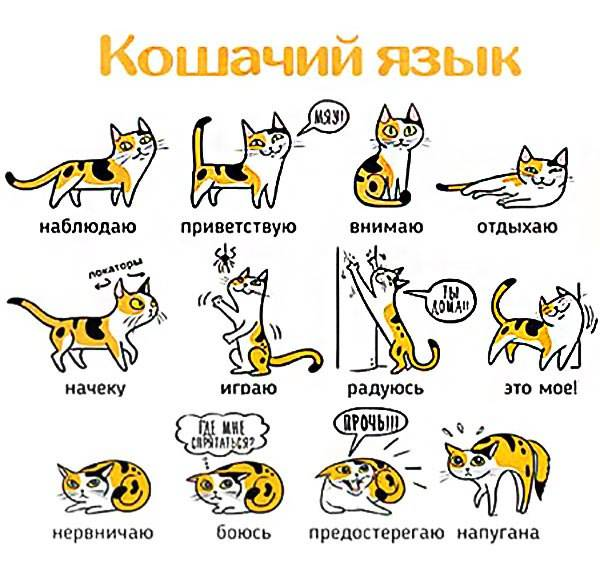 Самый длинный хвост у кота – какие породы считаются длиннохвостыми?