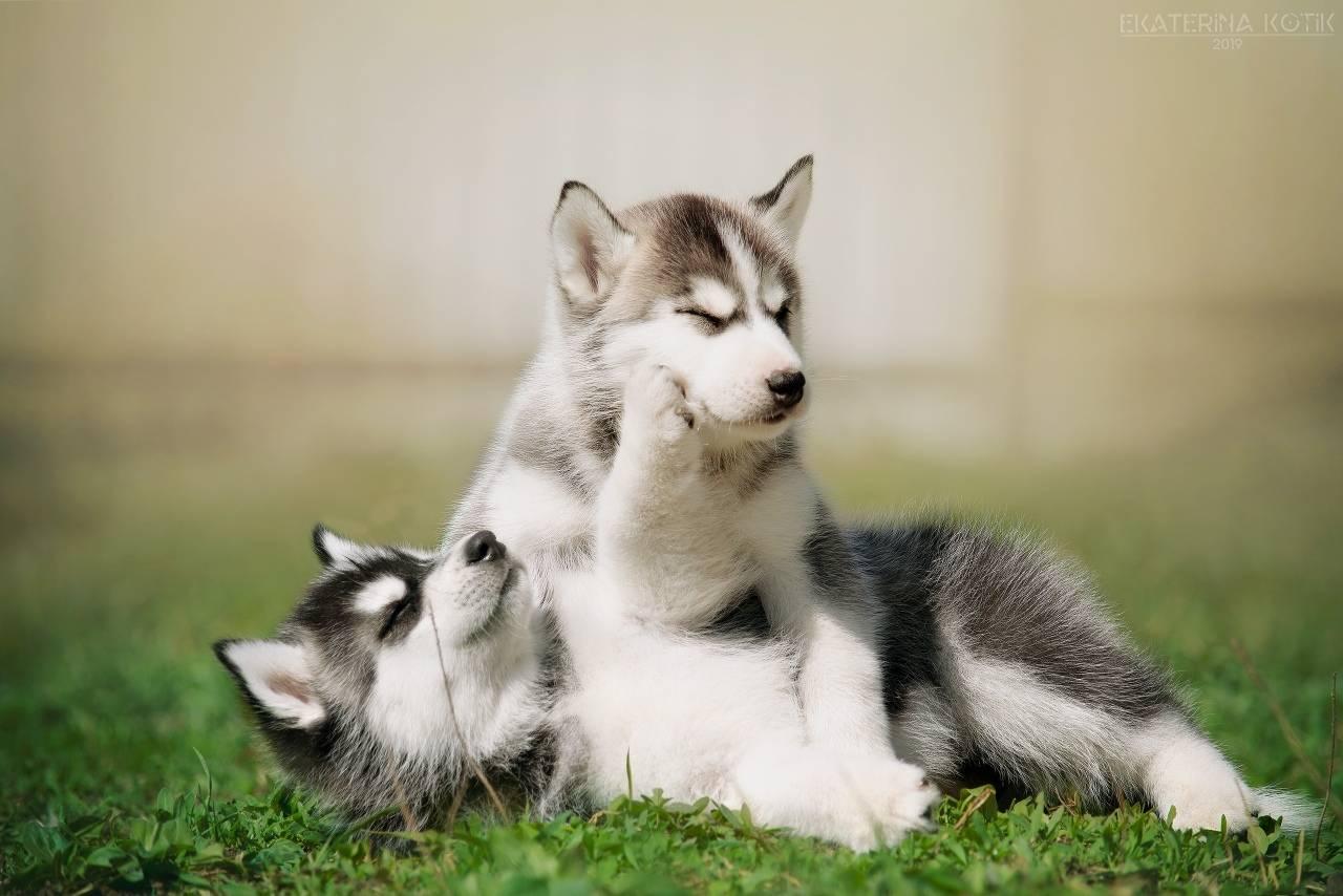 Сибирский хаски (68 фото): описание щенков, характер собак породы хаски. характеристика собак белого и других окрасов. отзывы владельцев