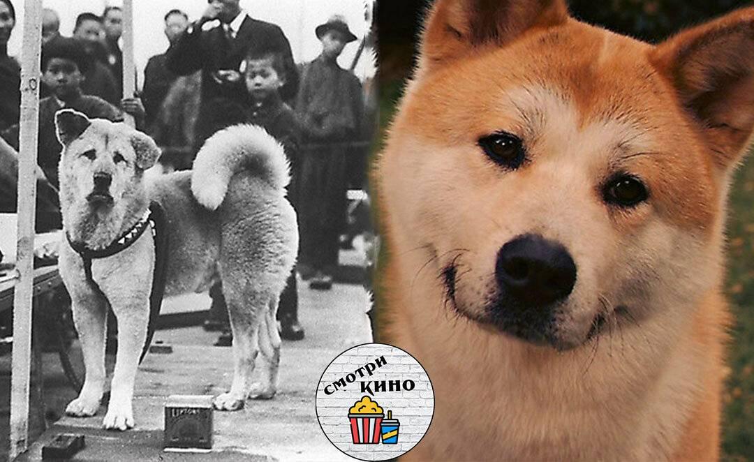 Хатико и другие знаменитые собаки японской породы акита-ину: описание, фото, особенности, характер, история возникновения, разновидности