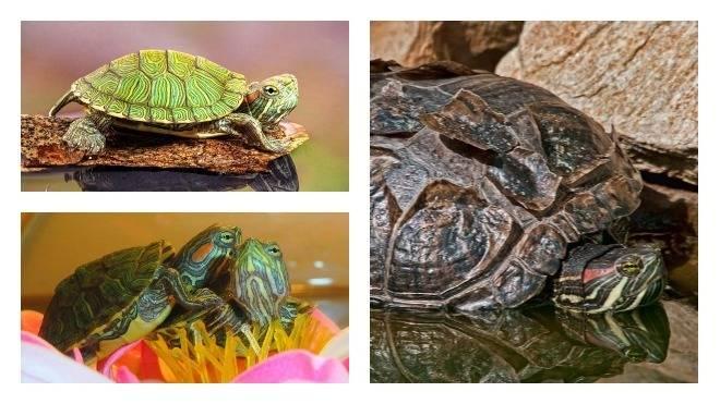 Как ухаживать за сухопутной черепахой в домашних условиях