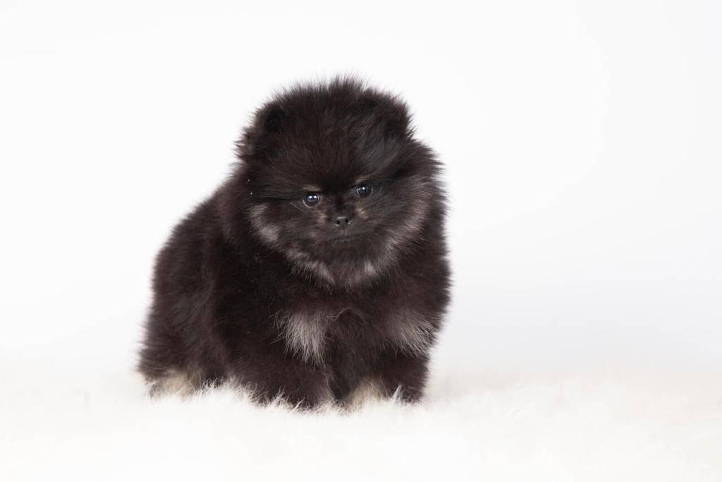 Померанский шпиц: описание породы, характер и стандарт питомцев, а также плюсы и минусы собак и особенности воспитания