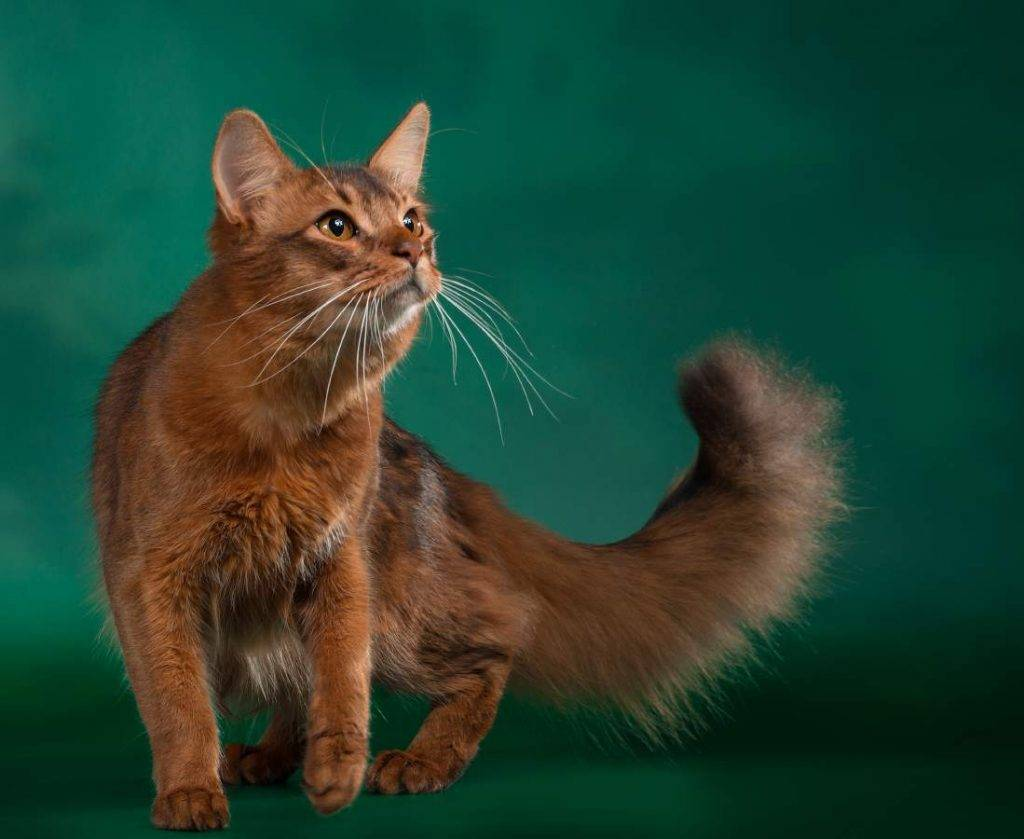 Сомали (кошка) — википедия