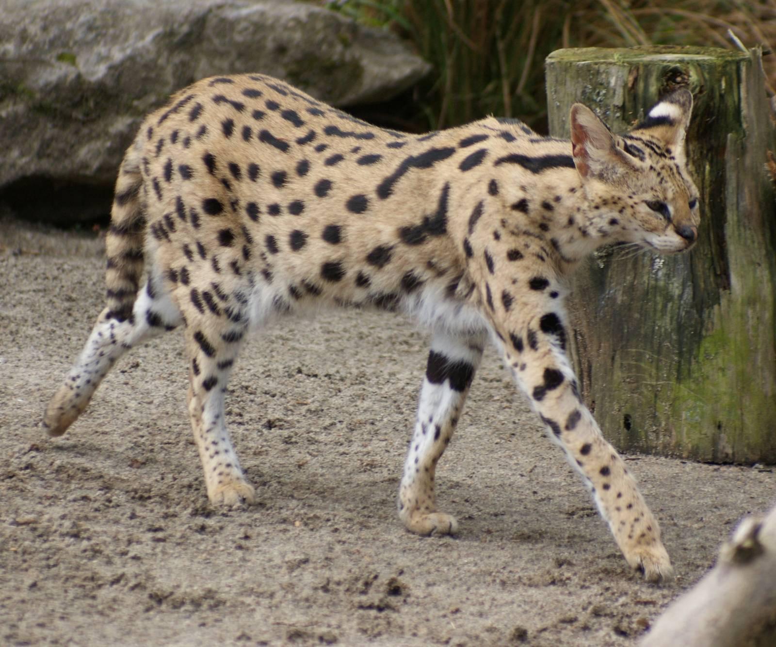 Кошка сервал: описание породы с фото, цена характер, уход  - mimer.ru