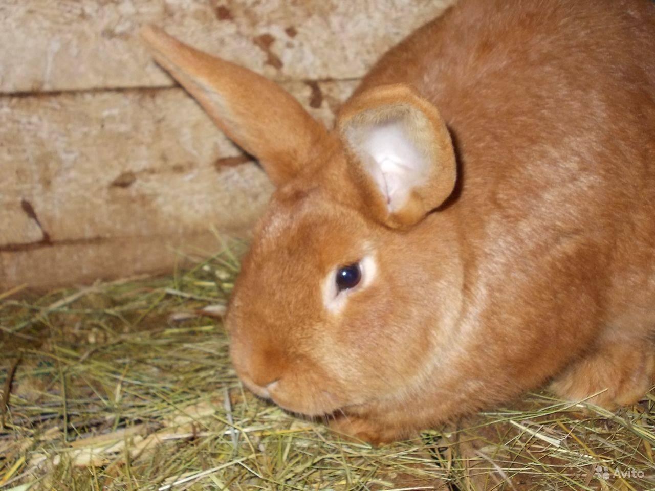 Нзб кролики, новозеландский белый - описание породы