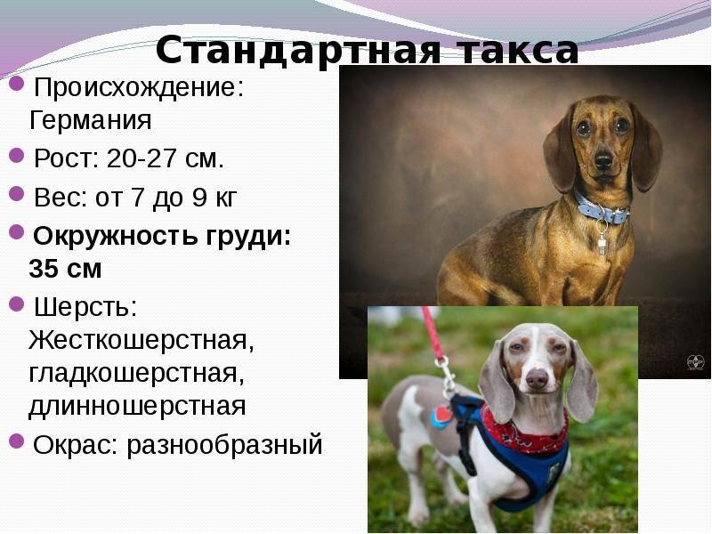 Характеристика породы «такса»: фото собак, описание стандарта, особенности характера, правила ухода, плюсы и минусы