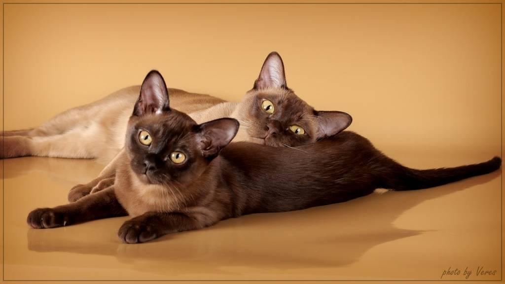 Бурманская кошка: история происхождения, стандарты породы и правила содержания