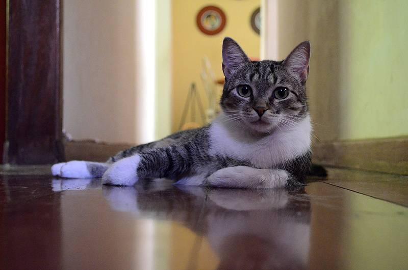 ᐉ бразильская короткошерстная кошка - описание пород котов - ➡ motildazoo.ru