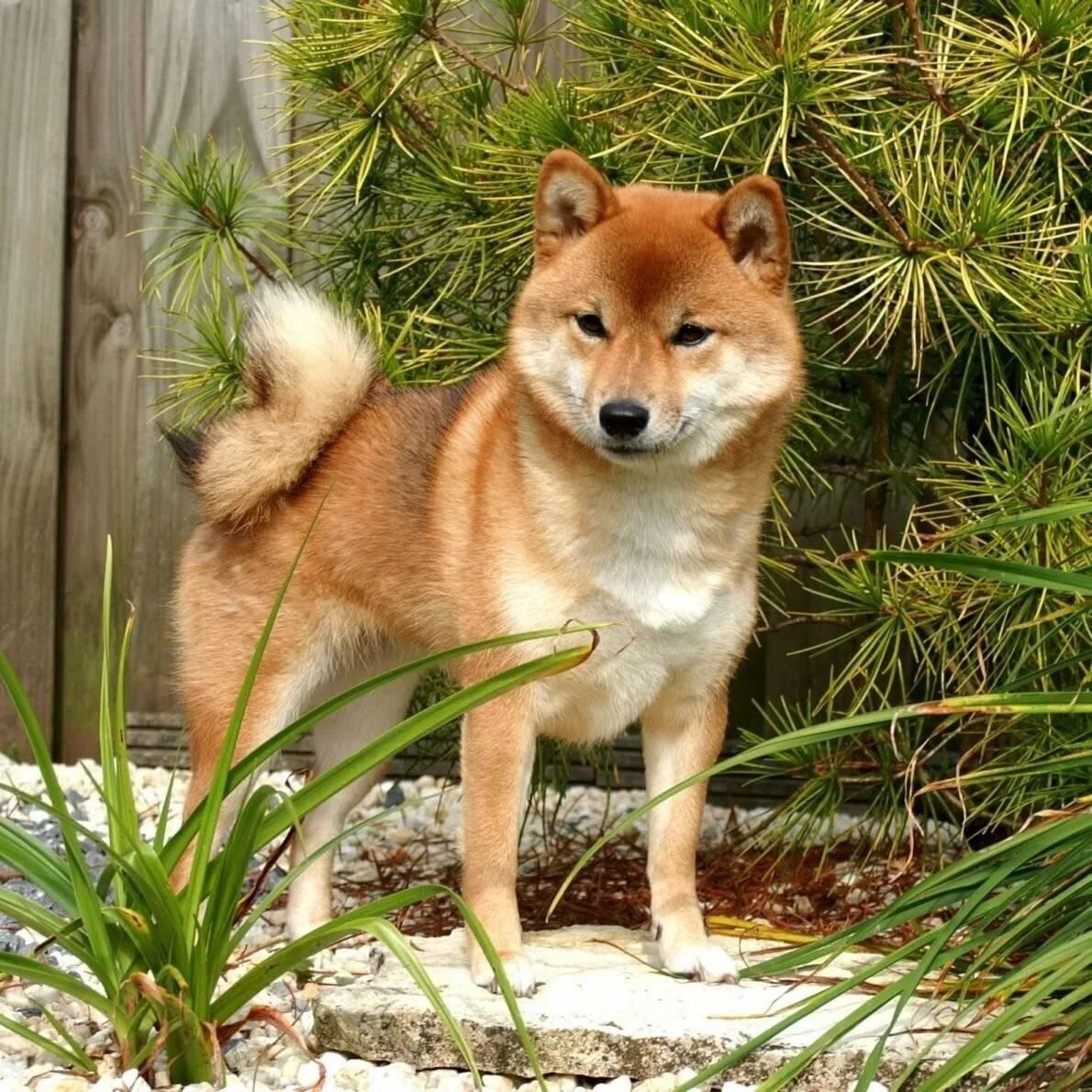 Собака айну: стандарт японской породы, внешность хоккайдо, содержание, дрессировка и фото