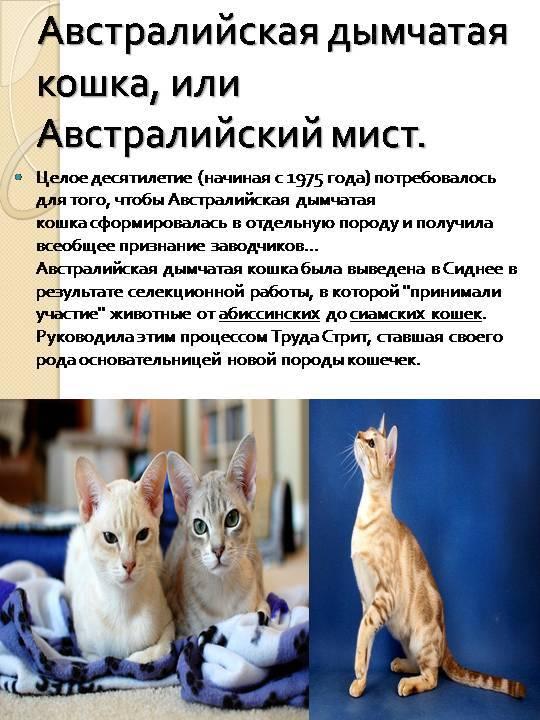 Австралийский мист (австралийская дымчатая кошка): фото, описание породы и характер