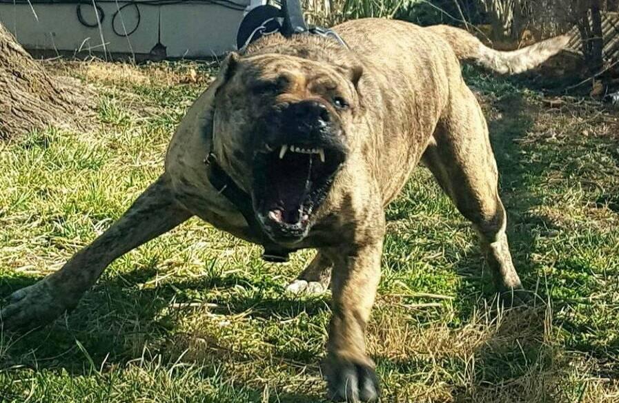 Самые опасные породы собак в мире. рейтинг всего мира. топ 5 мест