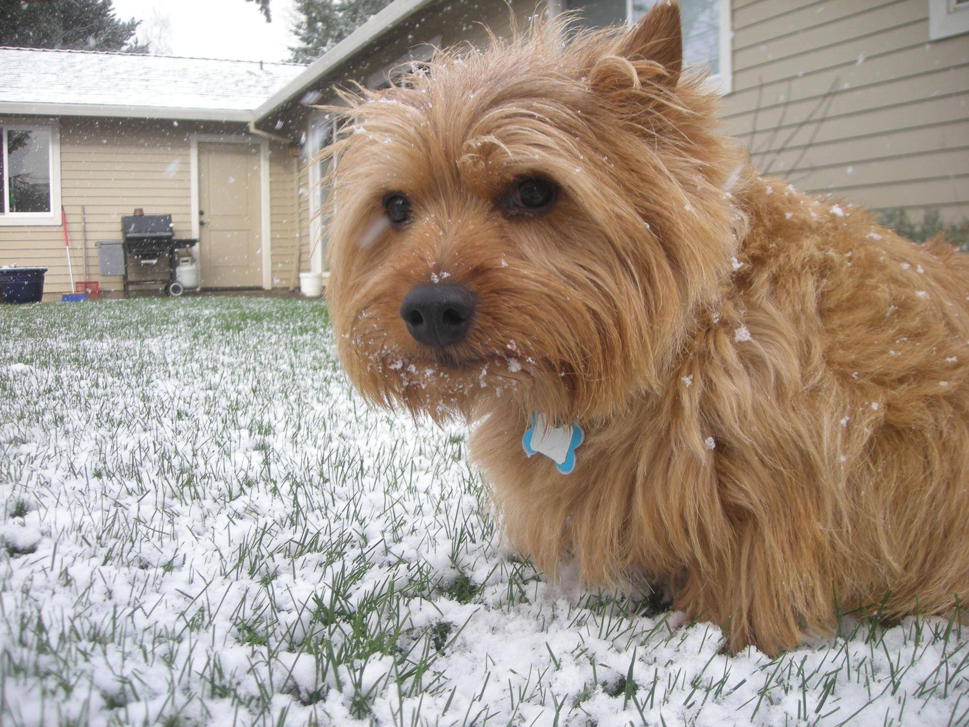Порода собак норвич-терьер: фото, видео, описание породы и характер
