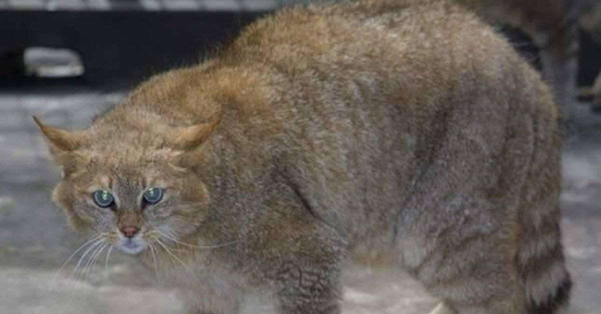 Китайская кошка: все о горной породе ли хуа