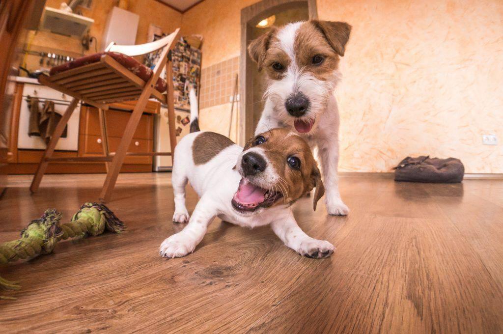 Как воспитывать джек рассел терьера | собаки мира