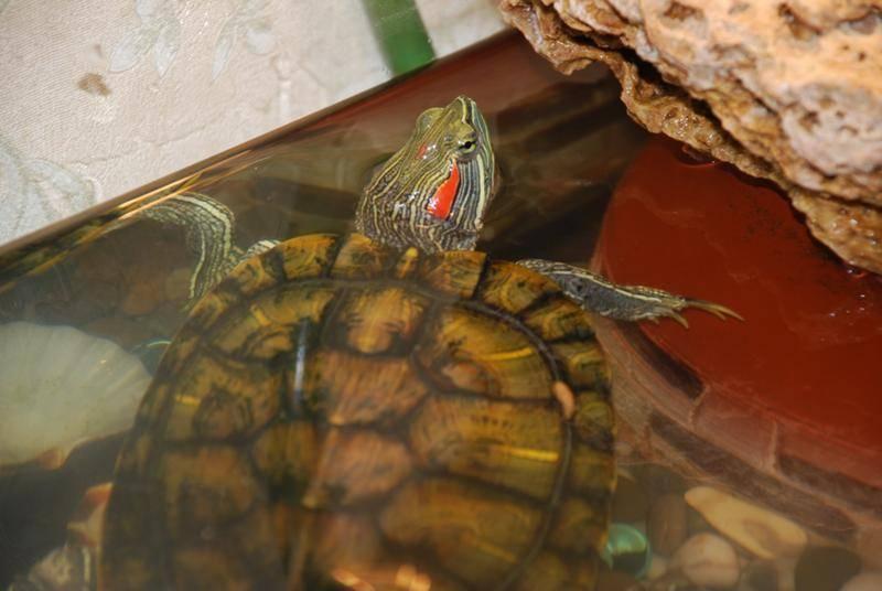 Содержание водной красноухой черепахи в домашних условиях