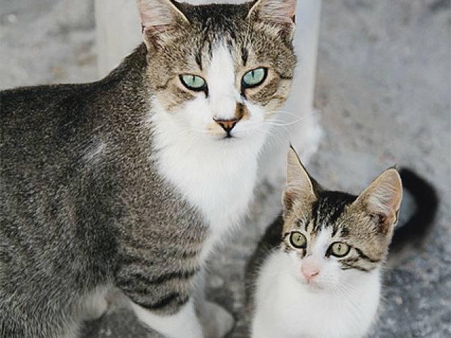 Бразильская короткошёрстная кошка: подробное описание, фото, купить, видео, цена, содержание дома