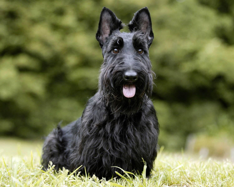 Скотч терьер собака. описание, особенности, виды, уход и цена породы скотч терьер | животный мир