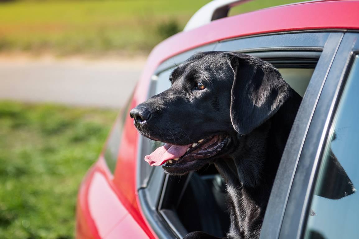 Собаку укачивает в машине или другом транспорте: как понять и что делать владельцу