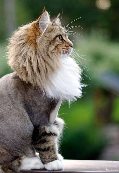 Стрижка котов: забота о здоровье и красоте животного