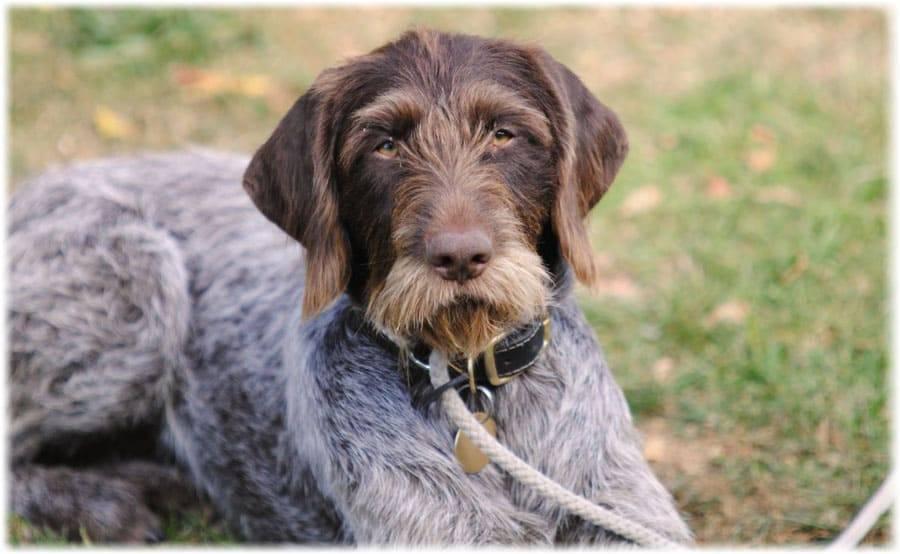 Дратхаар - фото собаки, описание породы, цена щенков