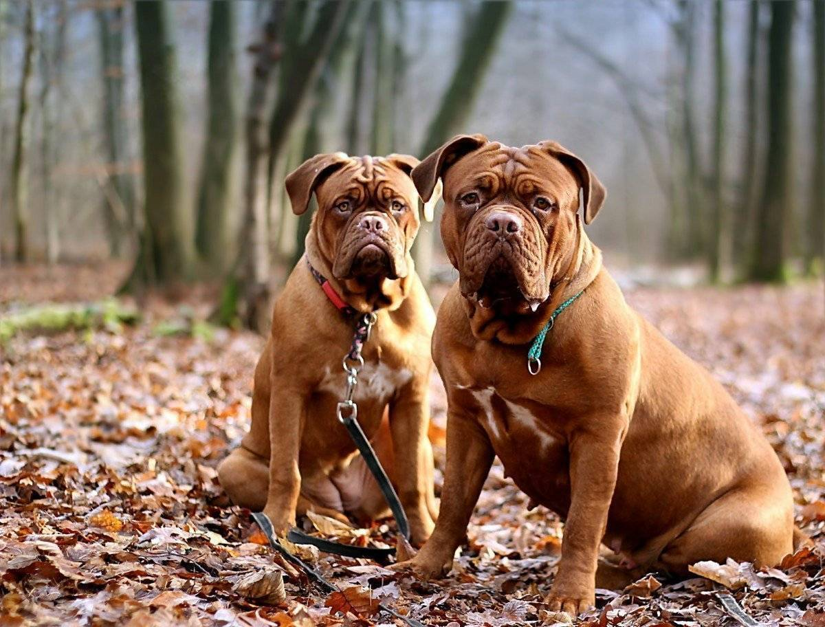 Все о бордоском доге: описание, фото, характер, уход, содержание, кормление породы собак франзцуский мастиф