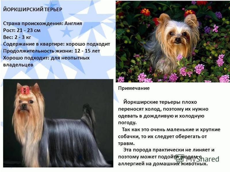 Йоркширский терьер собака. описание, особенности, виды, уход и цена породы | живность.ру