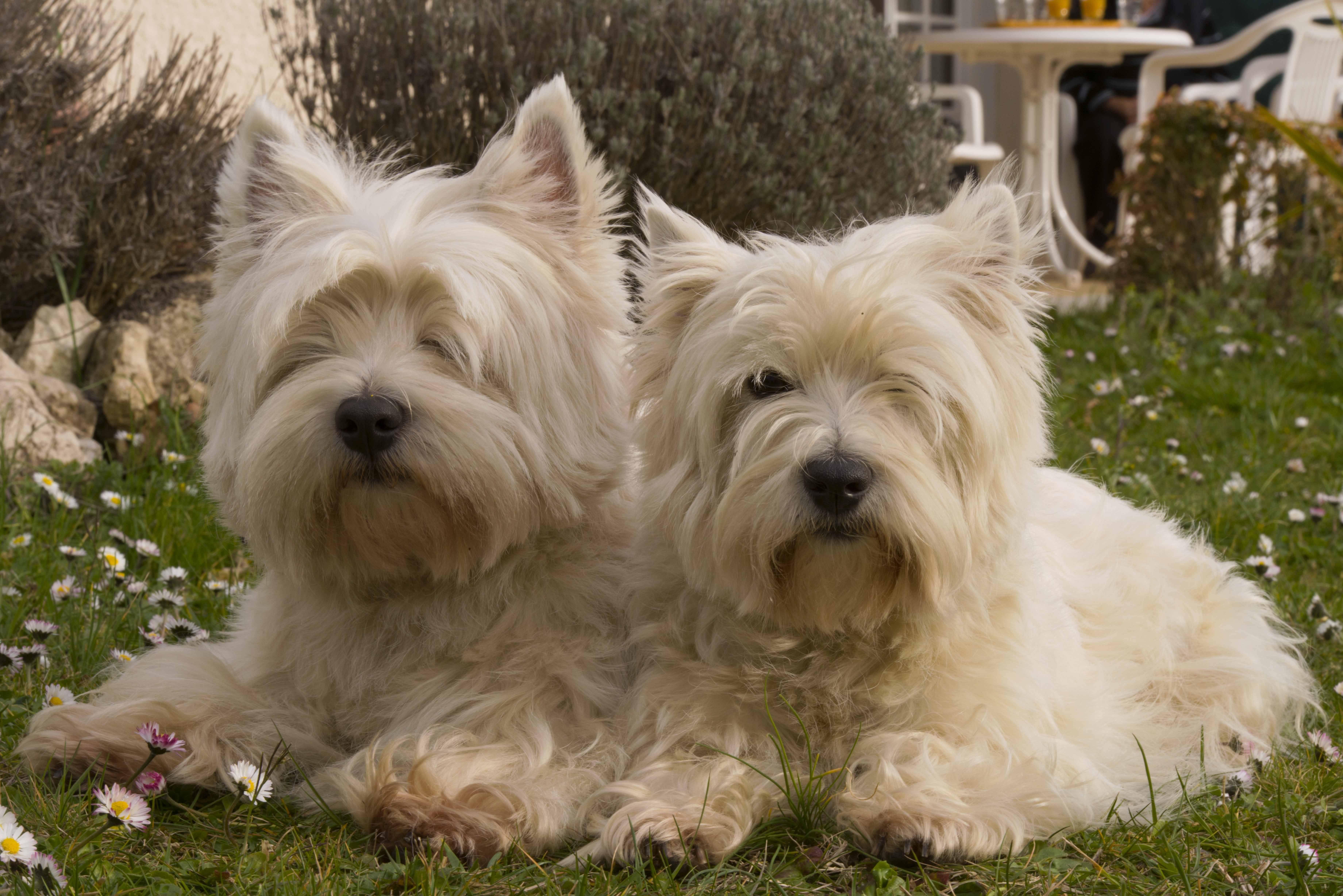Вест-хайленд-уайт-терьер - порода собак - информация и особенностях | хиллс